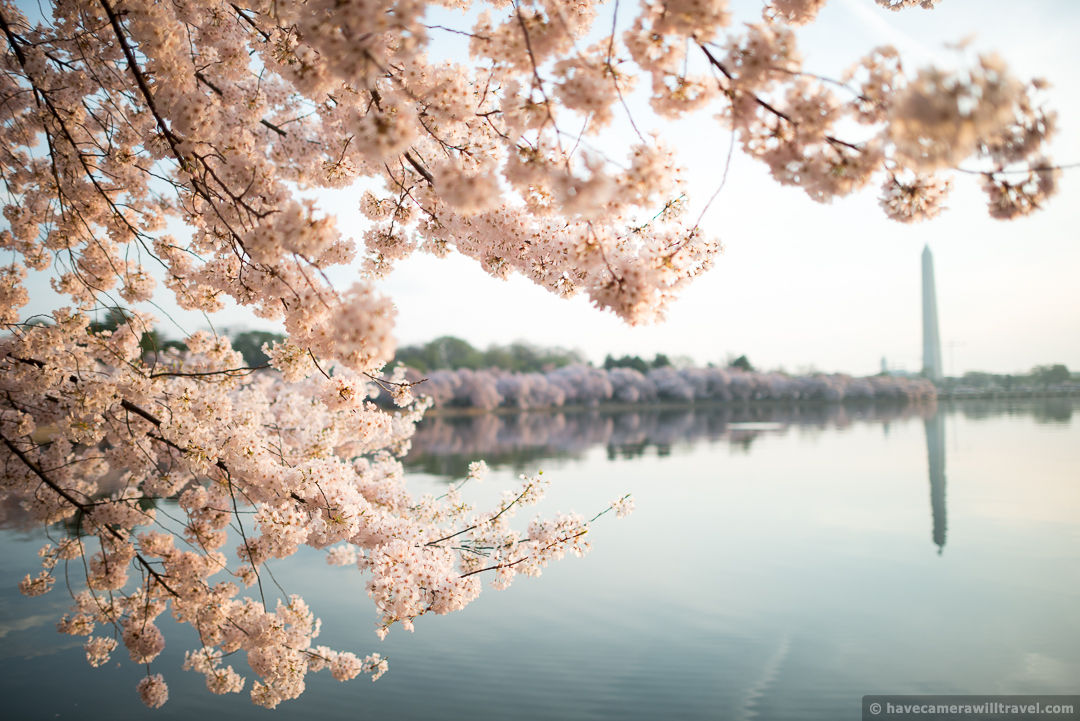 Pictures Of Cherry Blossom Trees In Washington Dc
